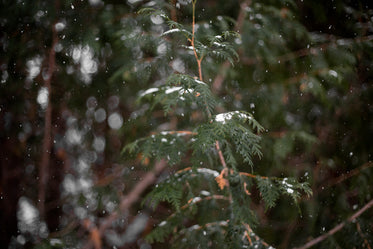 snowflakes fall on fir trees in the woods
