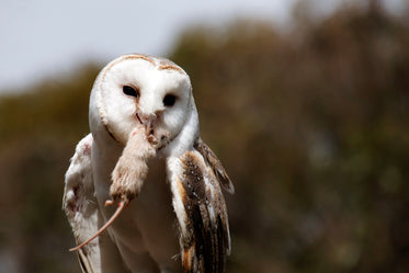 snowy white owl with a mouse in its beak