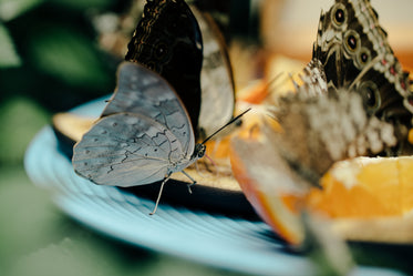 some butterflies share a feast together