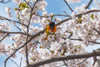 songbird among the cherry blossoms