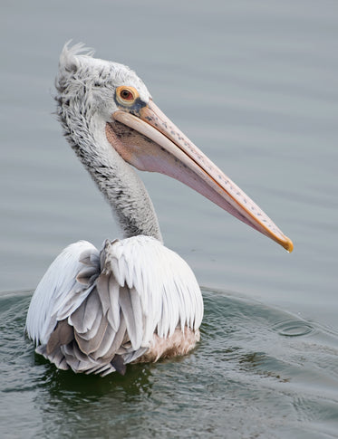 spot-billed pelican in water