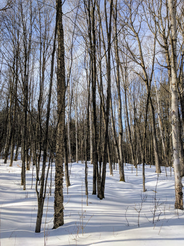stark bare trees in winter forest