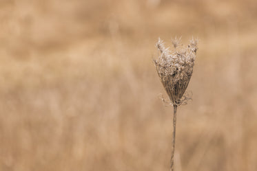 stem of queen annes lace