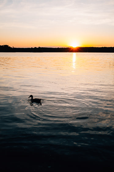 sun sets behind trees as a duck floats on the water