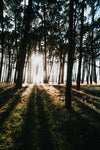sunbeams rising through forest trees