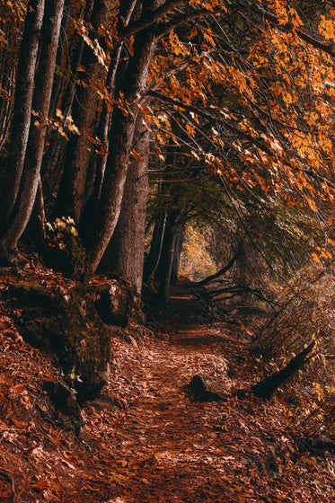 tall fall trees with a leaf covered path in brown and yellow