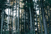 tall forest trees of oregon