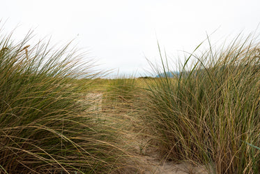 tall grasses by sandy beach