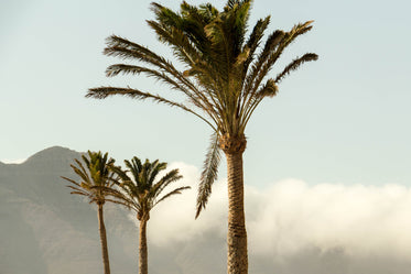 tall palm trees on mountain top