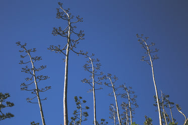 Free Stock Photo of Tall Thin Trees Blue Sky — HD Images