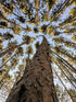 High Res Tall Trees Reach For Blue Sky Picture — Free Images