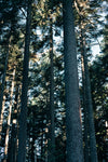 tall trees reach for sky and light