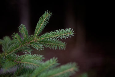 the needles on a pine branch against a green background