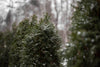 the peaks of pine trees being coated with white snowflakes