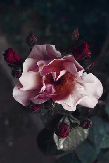 the petals of this flower cast shadows of purples and pinks