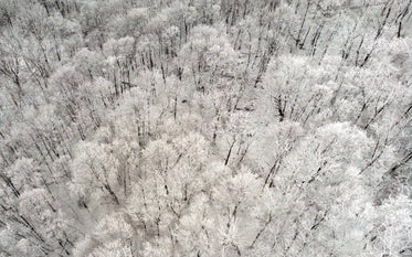 the snow-white trees clustered together