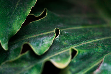 thick green leaf