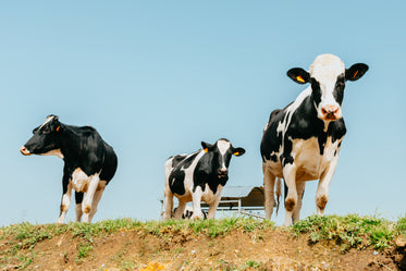 three cows stands on green grass