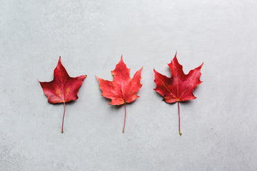 three maple leaves in a row