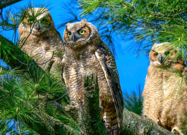 three owls on a pine tree branch