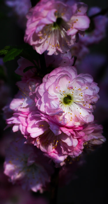tightly packed pink flowers