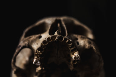 toothless upper jaw of human skull