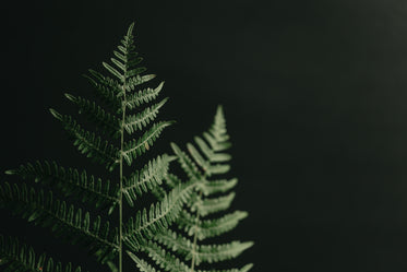 top of fern branches against black