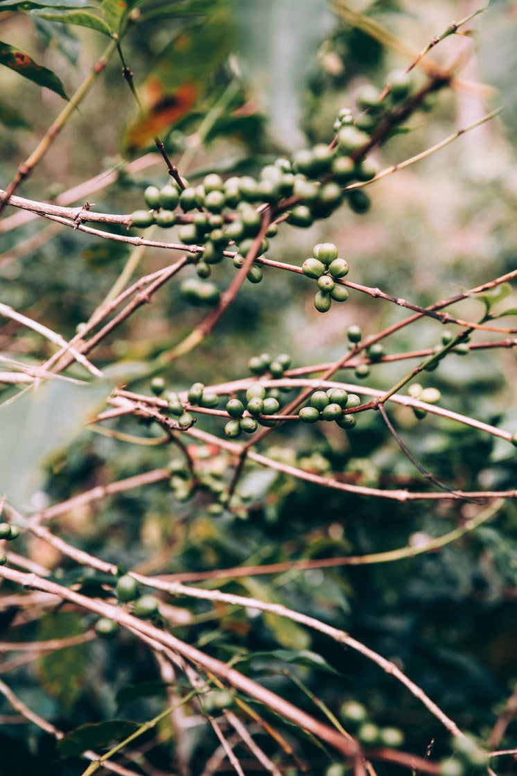 Twisted Red Branches Loaded With Clusters Of Green Fruit