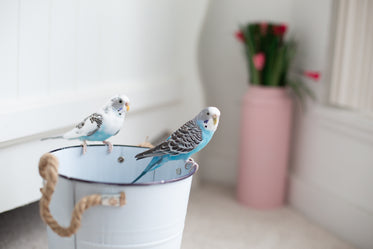 two blue and white birds on a white bucket