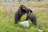 two brown bears play fight