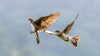 two brown birds mid flight against a blue sky