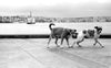 two dogs walking by the water in black and white