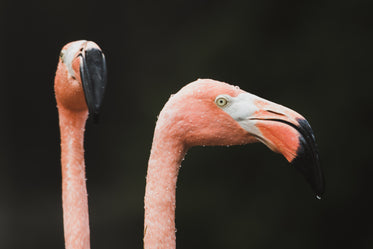 two pink flamingo faces