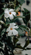 two white flowers with dark leaves