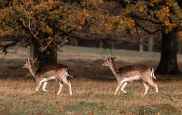 two young deer walk across a grassy field