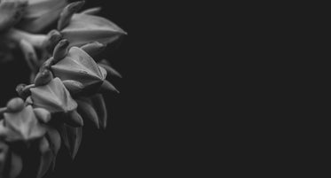 unbloomed flower in black and white