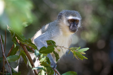 vervet monkey in african tree