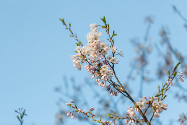 vibrant blooming cherry blossom branch