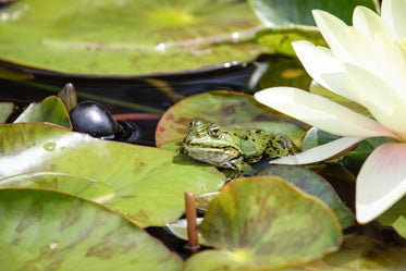 vibrant green frog on a lily pad alone