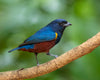 vibrant red and blue bird on a branch