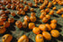 view of pumpkins from above