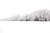 wall of trees burdened with snow