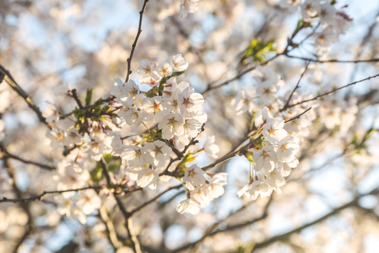 Warm Sun Filled Cherry Blossoms