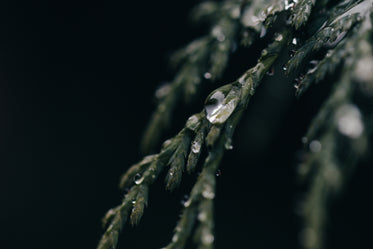 water clings to evergreen tree