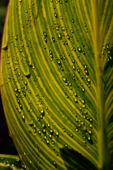 water droplets gather on large green leaf