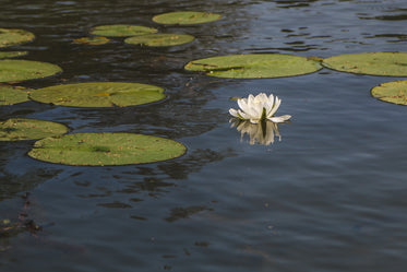 water lily and lily pad