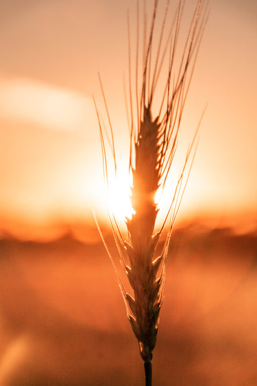wheat and a sunset