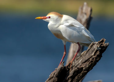 white bird stands on a piece of driftwood