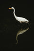 Free White Crane Water Reflection Photo — High Res Pictures