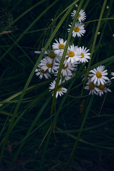 white daisies and blades of tall green grass